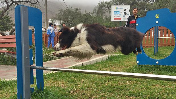 Uno de los perros raza Border Collie de Augusto Barrios en plena demostración del 'agility' que enseña en el parque Texcoco.