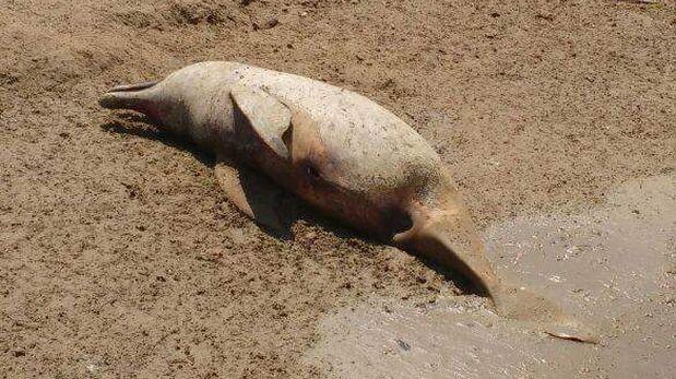 Loreto: 14 delfines rosados aparecieron muertos en ríos