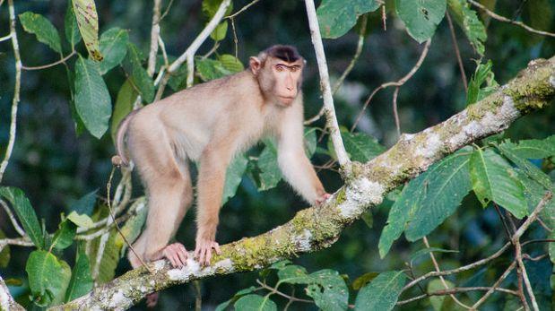Detectan daño cerebral por zika en el feto de un mono