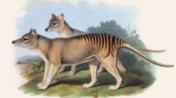 El tigre de Tasmania sigue apareciendo después de su extinción