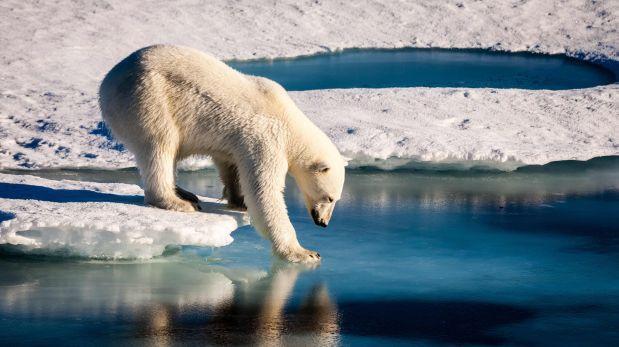 Los osos polares se están quedando sin hielo en el Ártico