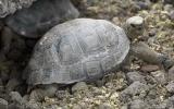 La tortuga macho que salvó a su especie en las Islas Galápagos