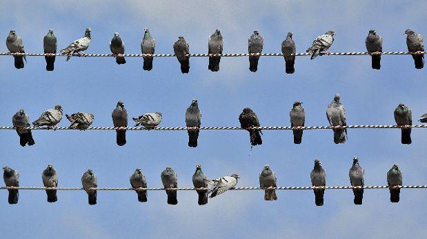 Las palomas pueden reconocer palabras