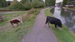 Google Street View protegió derecho a la privacidad de una vaca - Noticias de street view