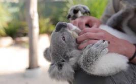 Simpático koala que se deja acariciar se vuelve viral [VIDEO]