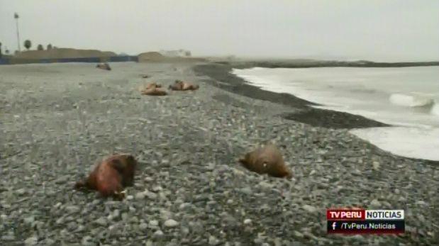 Callao: aparecen 22 lobos marinos muertos en playa Carpayo