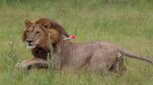 A leonas les crece melena y empiezan a actuar como machos
