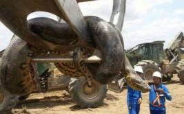 Una anaconda de diez metros fue atrapada por obreros [VIDEO]