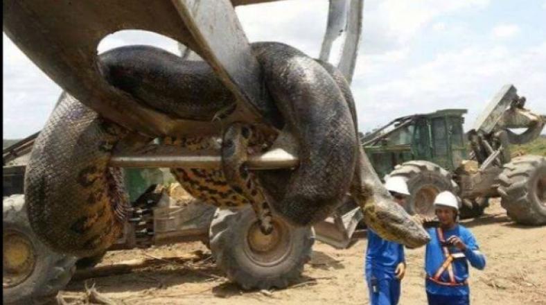 Así fue capturada una anaconda de 10 metros en Brasil [VIDEO]