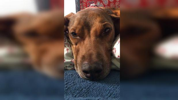 """Perro se """"deprime"""" luego que su dueño sale de viaje [VIDEO]"""