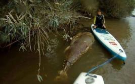 Ingleses encontraron un atún gigante en el río Severn [VIDEO]