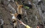 El mono de Gibraltar en peligro por su venta a través de España