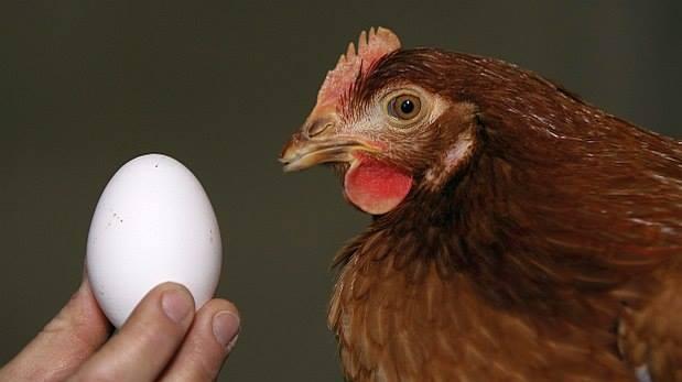 ¿El huevo fue primero que la gallina? La ciencia lo explica