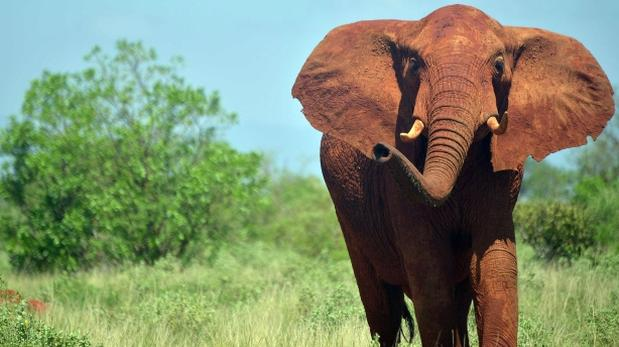 Fracasa iniciativa para prohibir comercio de elefante africano