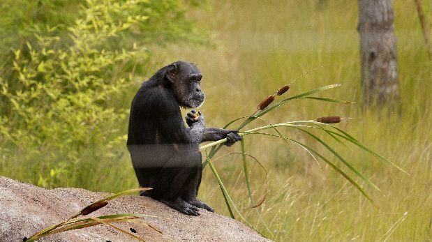 Los simios serían capaces de predecir los errores ajenos