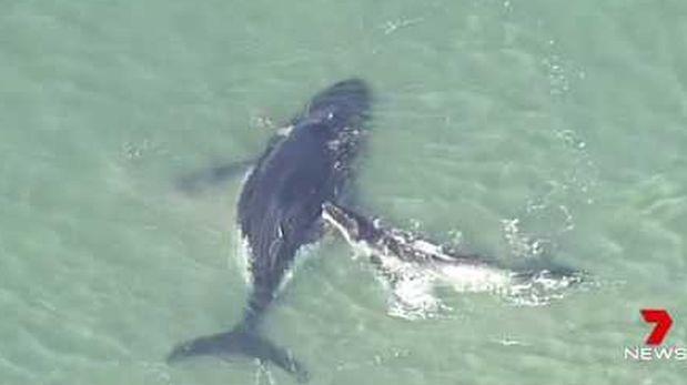 Desesperada ballena bebe intenta rescatar a su madre [VIDEO]
