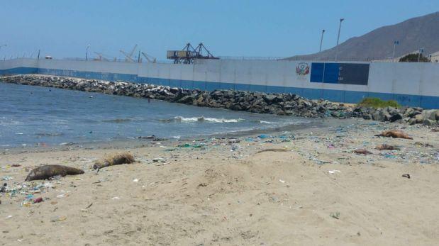 Áncash: 10 lobos y un delfín aparecieron muertos en Chimbote