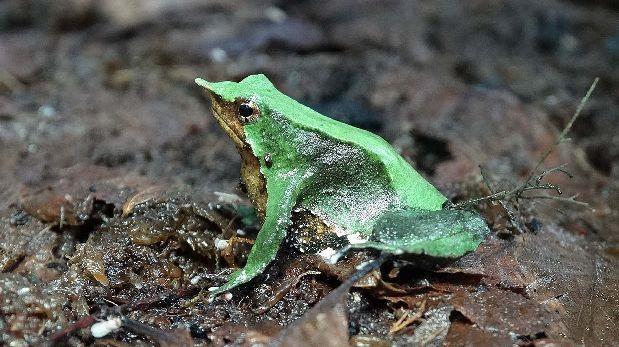 Investigadores buscan reproducir rana en peligro de extinción