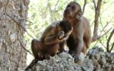 Descubren a monos capuchinos tallando piedras