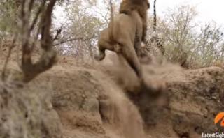 YouTube: mirá la increíble pelea entre un león y un leopardo
