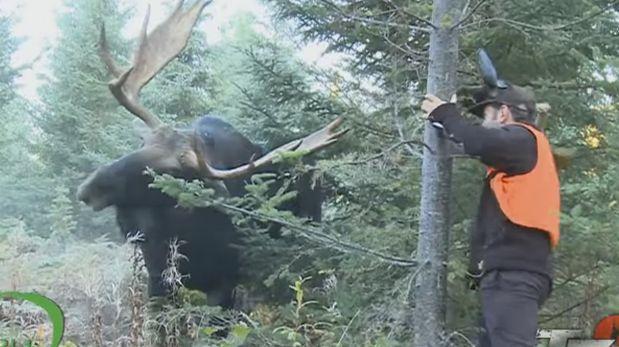 Mira que te puede pasar si retas a un enorme alce [VIDEO]