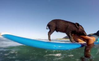 Kama, el cerdo surfista de Hawái que conquista Youtube [VIDEO]