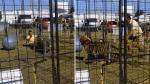 YouTube: impactante video registró ataque de tigre a domadora - Noticias de feria escolar