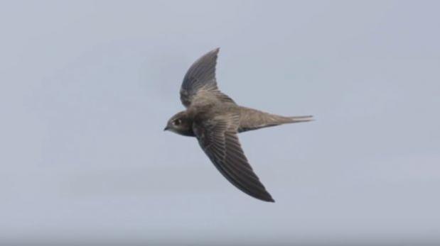 YouTube: el pájaro que puede pasar diez meses sin aterrizar