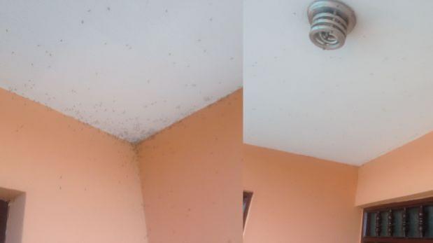 Vecinos del Callao alertan sobre invasión de zancudos en casas