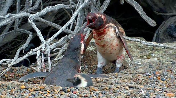 ¡Espectacular! Pingüino sufre infidelidad e inicia sangrienta pelea