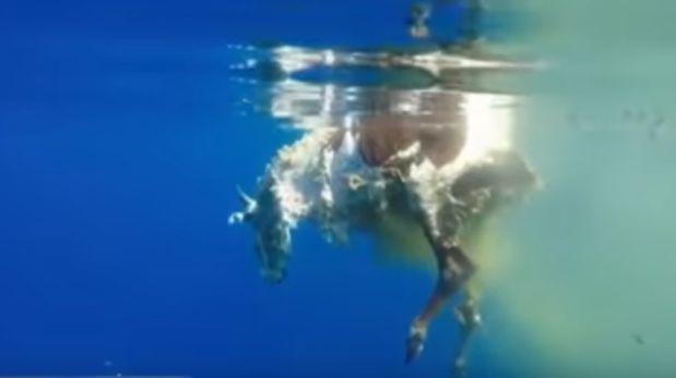 Increíble escena de un tiburón devorando a una vaca [VIDEO]