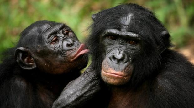 Los bonobos sufren de vista cansada como los humanos
