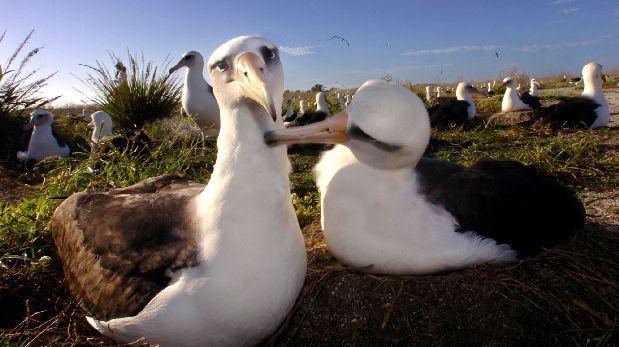 El plástico altera el olfato de las aves marinas