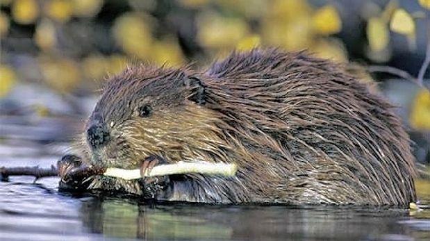 Argentina: Exterminarán 100.000 castores para salvar bosques