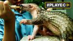 Vietnam busca proteger al pangolín del tráfico ilegal [VIDEO] - Noticias de principe guillermo