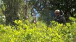 El Gobierno espera erradicar 30 mil hectáreas de coca este año - Noticias de laboratorios de droga