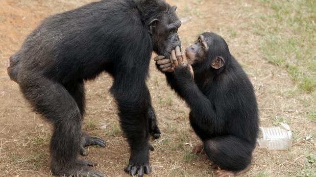 Los chimpancés también hacen lo que su madre les enseña