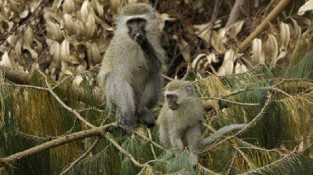 Primates hembras incitan al macho a la violencia