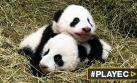 Los pandas gemelos de Viena bautizados