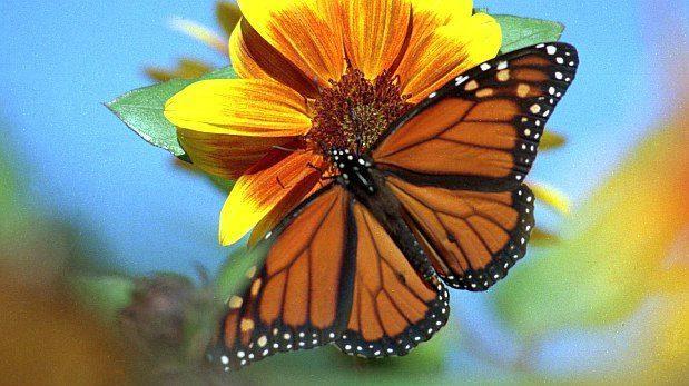 Las paltas son las nuevas enemigas de la mariposa monarca