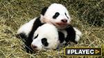 """Los pandas gemelos de Viena bautizados """"Fu Feng"""" y """"Fu Ban"""" - Noticias de yang wenzhuang"""
