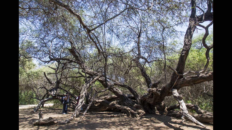 Aquí podrás conocer el Árbol Milenario, el cual llama la atención por su singular forma y  y más de 500 años de antigüedad.(Foto: Luis Gamero / PromPerú)