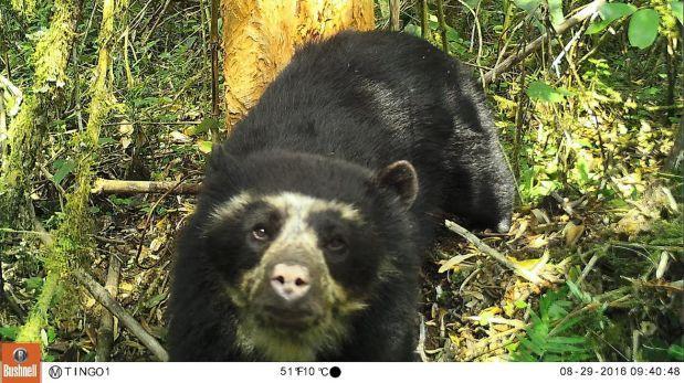 Cámaras trampa capturan primeras imágenes de oso de anteojos