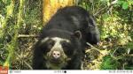 Cámaras trampa capturan primeras imágenes de oso de anteojos - Noticias de fauna silvestre