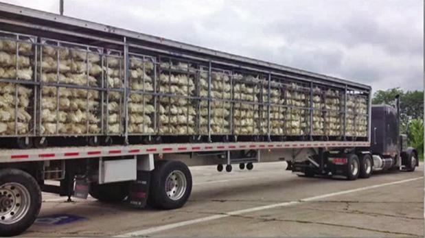Uno de los tantos miles de camiones que transportan jaulas llenas de aves hacinadas.