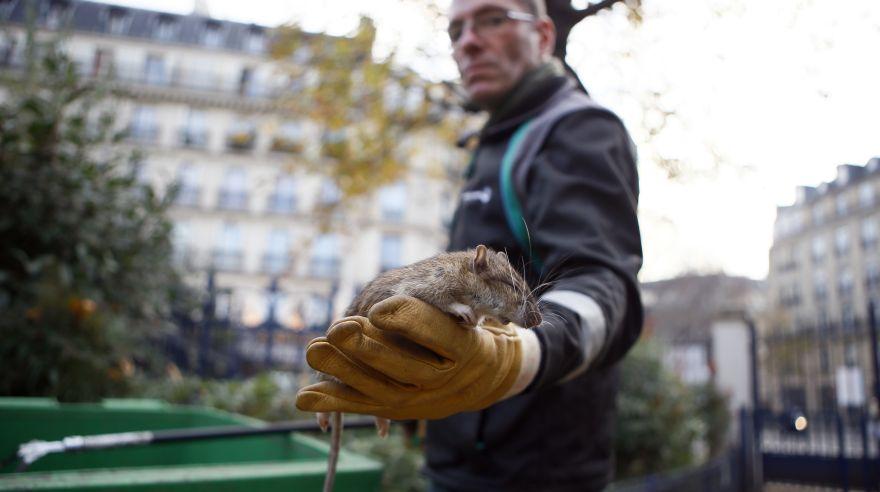 París ratas