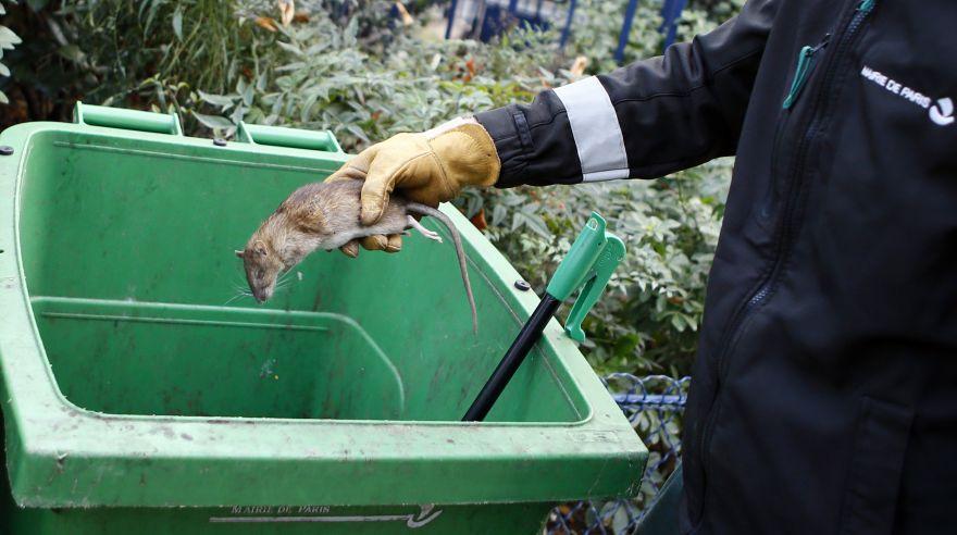 Así lucha París para erradicar la plaga de ratas en sus parques