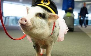 Lilou, la linda cerdita que ayuda a los viajeros en aeropuerto