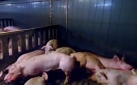 Los videos de 360° que retratan la crudeza de los mataderos