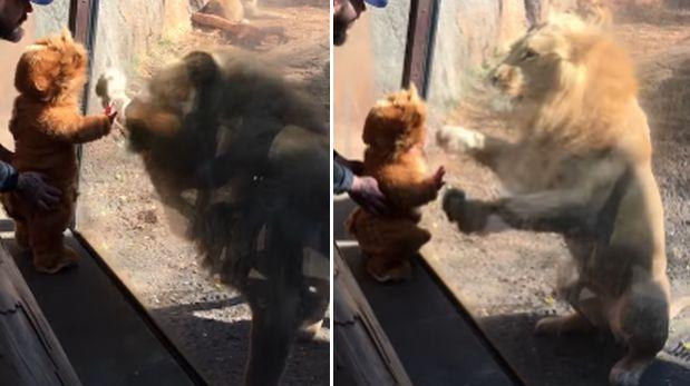 Así reaccionan leones al ver a bebe disfrazado de león [VIDEO]